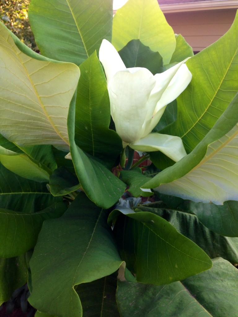 Ashe Magnolia -- big leaves & big flowers