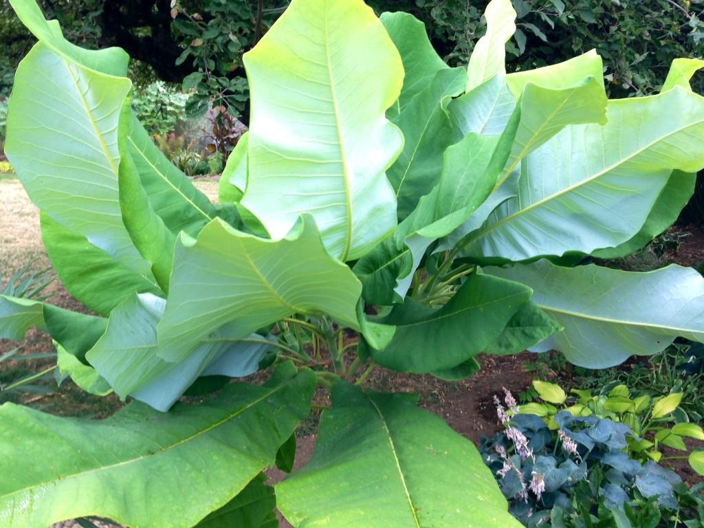 big gorgeous leaves of Ashe Magnolia