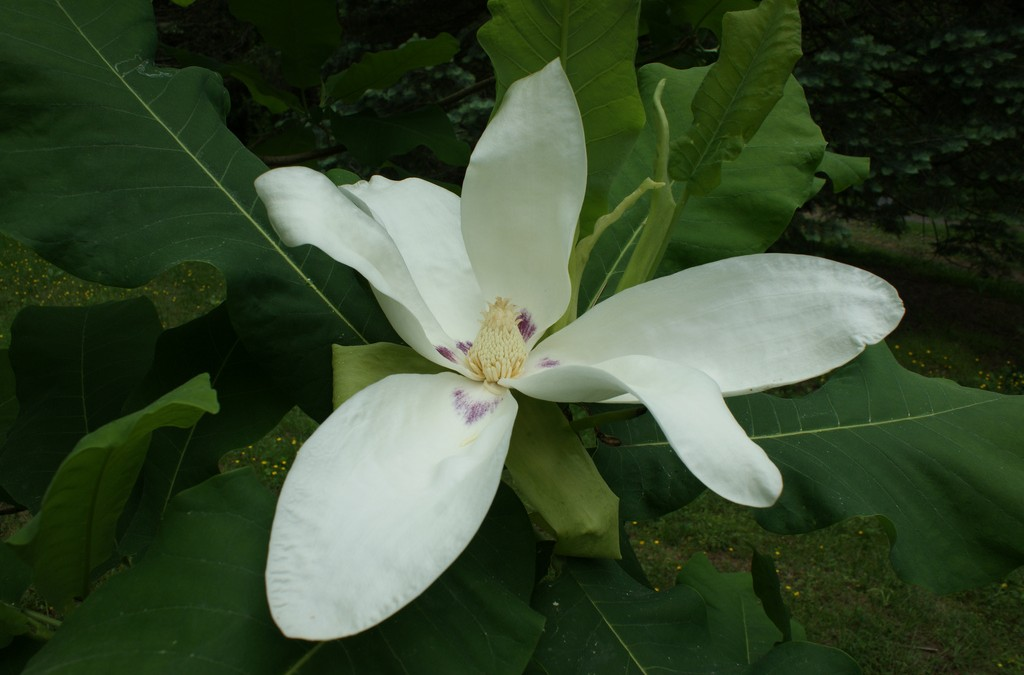 Dwarf Bigleaf Magnolia: One Sweet Tree