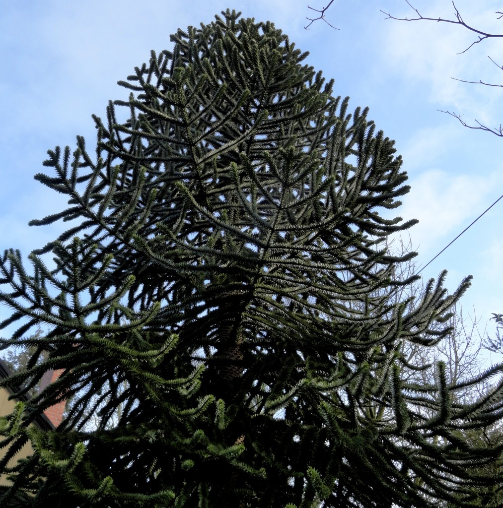 monkey puzzle perfection