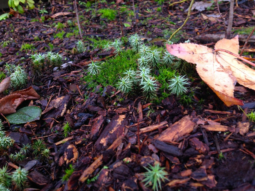 moss with conifer spikes 2
