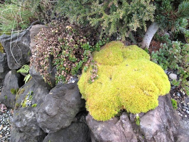 unknown golden moss lookalike at Portland Nursery