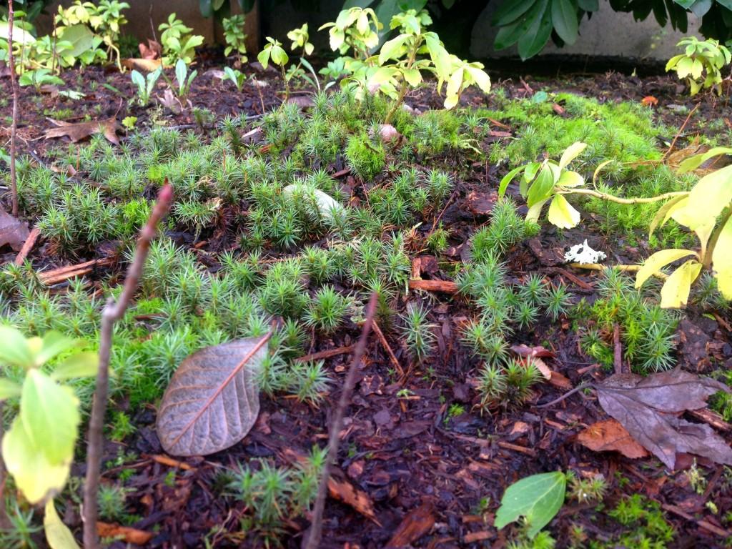 cypress moss