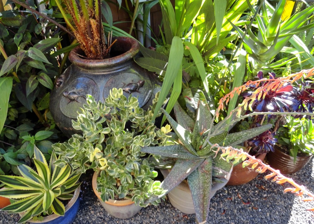 Agave lophantha 'Quadricolor' and other dry-loving and tender plants in Eric's garden.