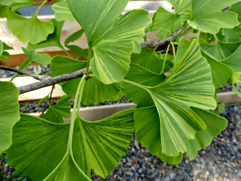 variegated ginkgo