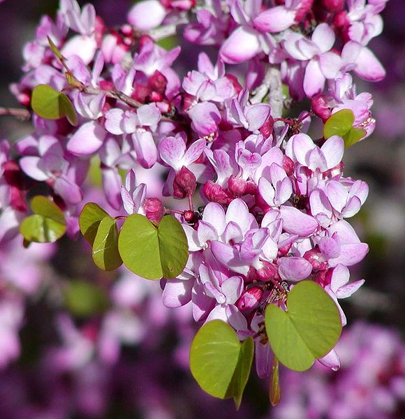 cercis occidentalis by stan shebs