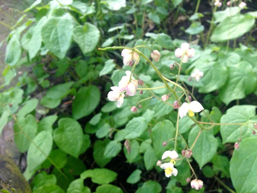 epimedium NOID pink