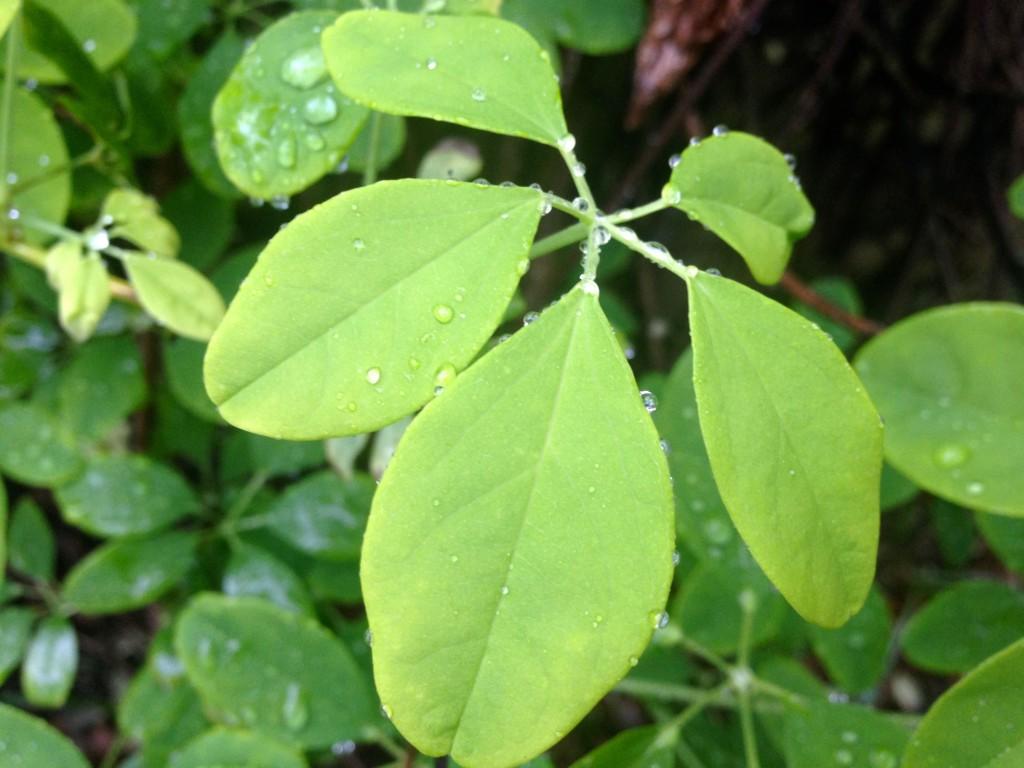 akebia quinata foliage
