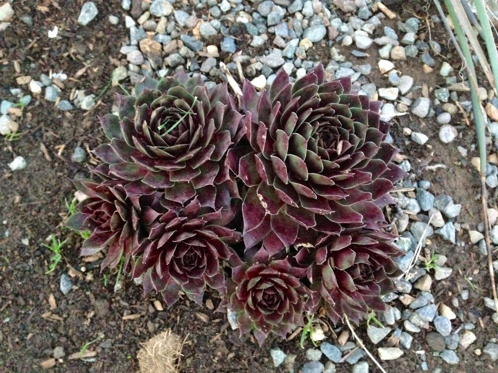 Sempervivum, such a perfect plant.