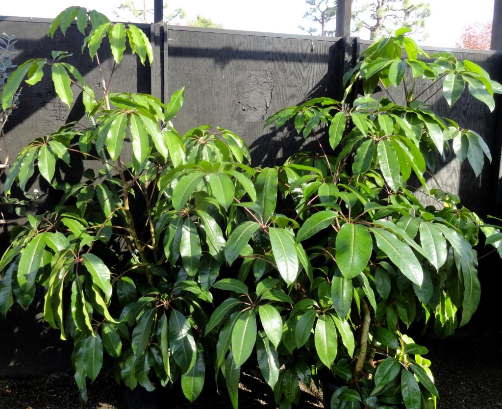 Tupidanthus calyptratus RG