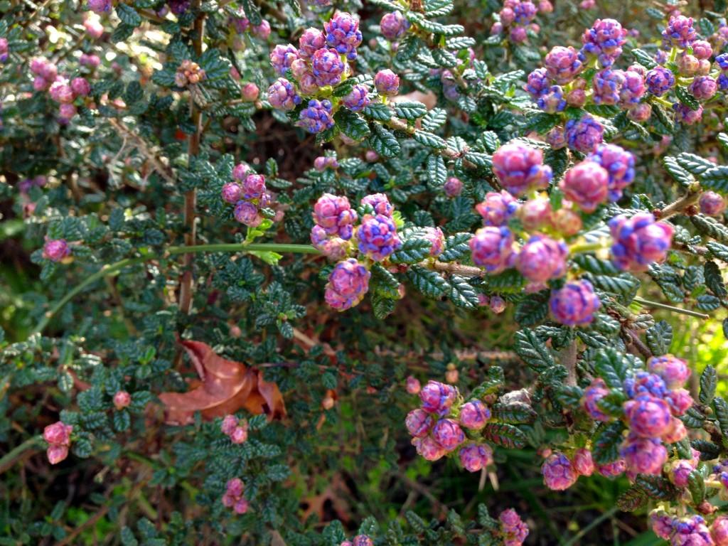 Ceanothus 'Dark Star' aka Wild Lilac