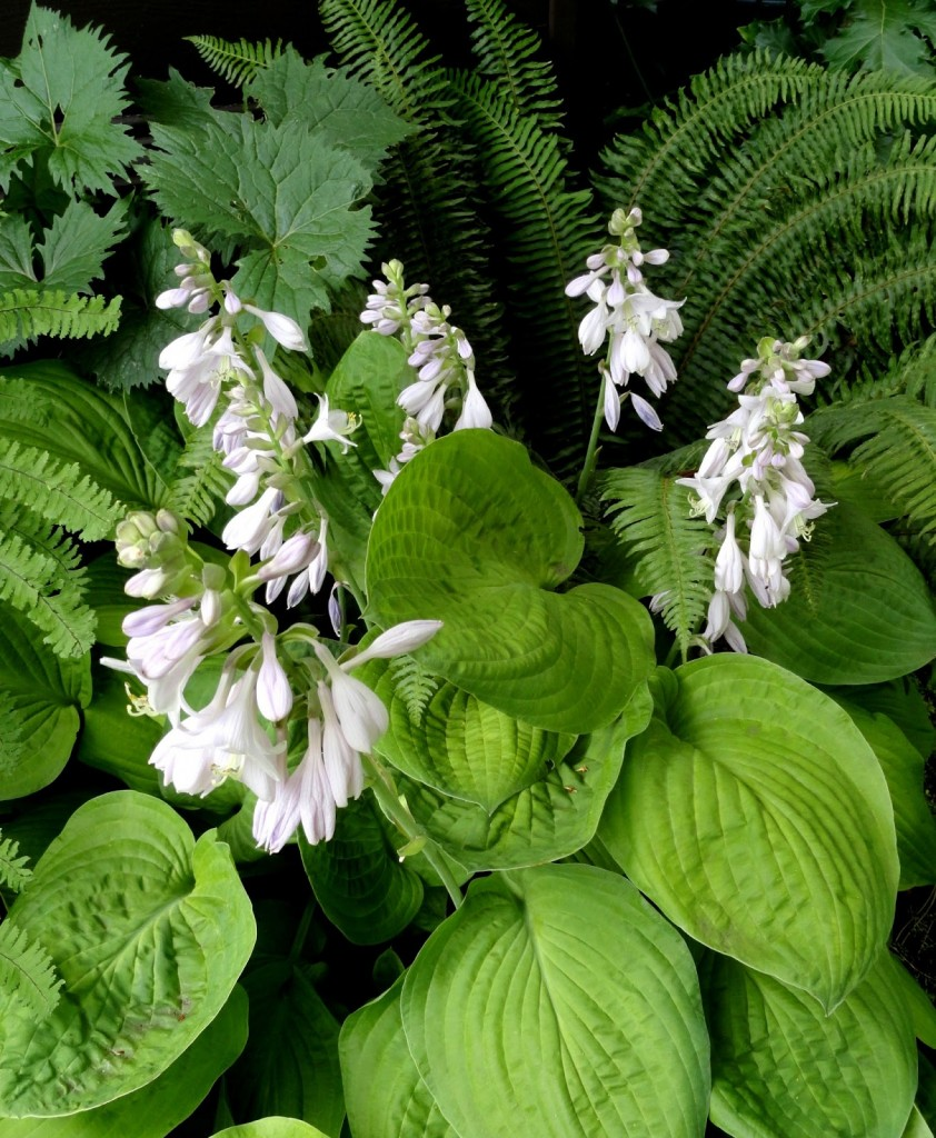 Hosta NOID and flower
