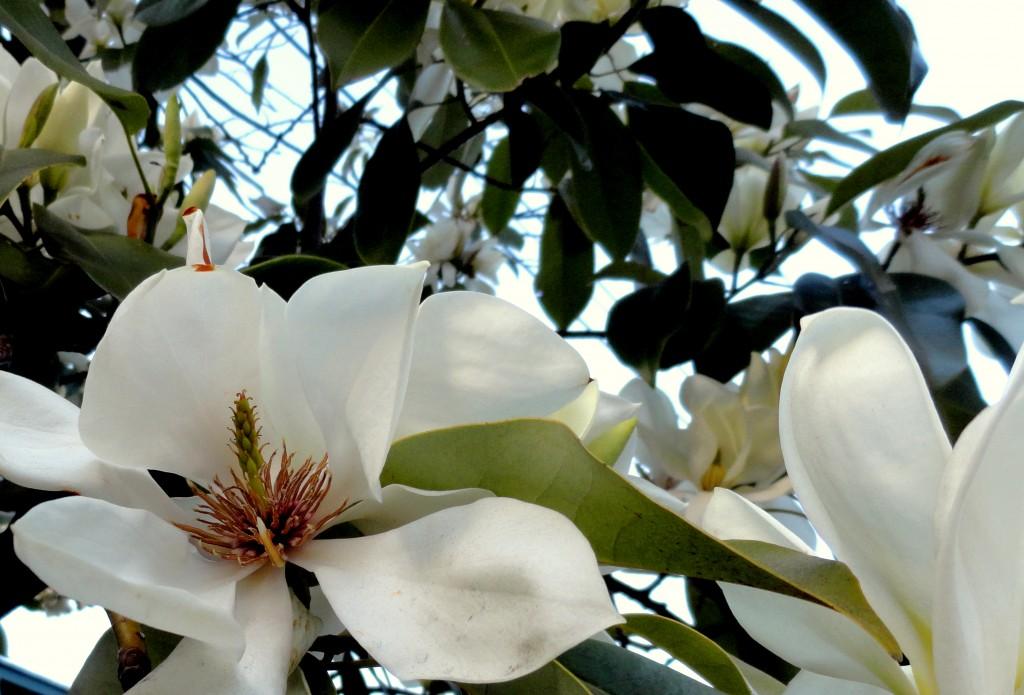 Magnolia maudiae 1