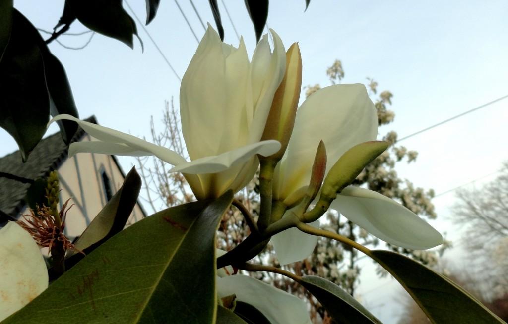 Magnolia maudiae 2