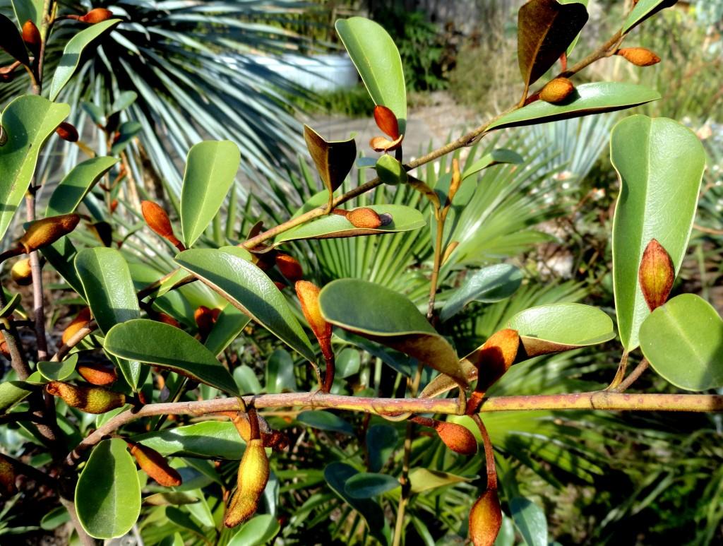 Magnolia laevifolia 7