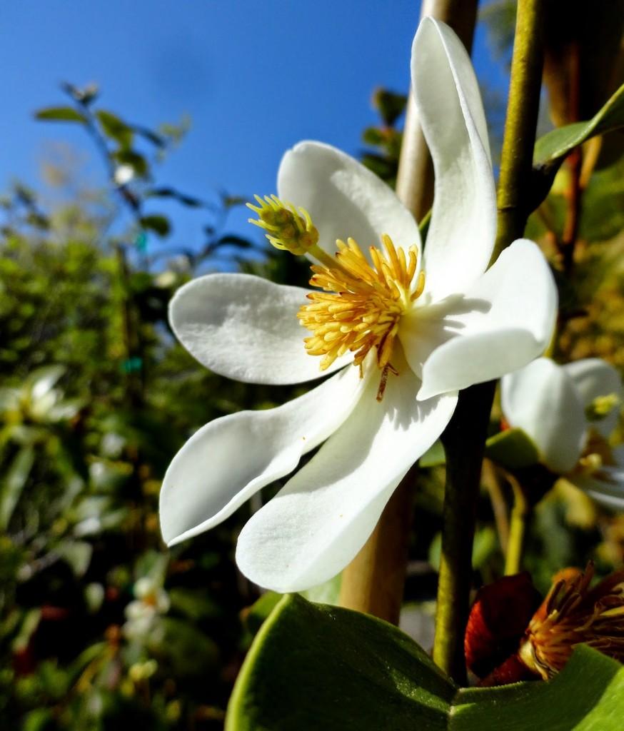 Magnolia laevifolia 6