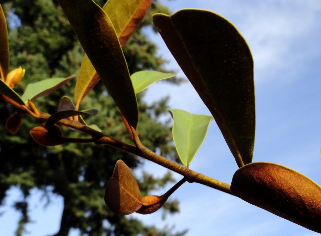 Magnolia laevifolia 4