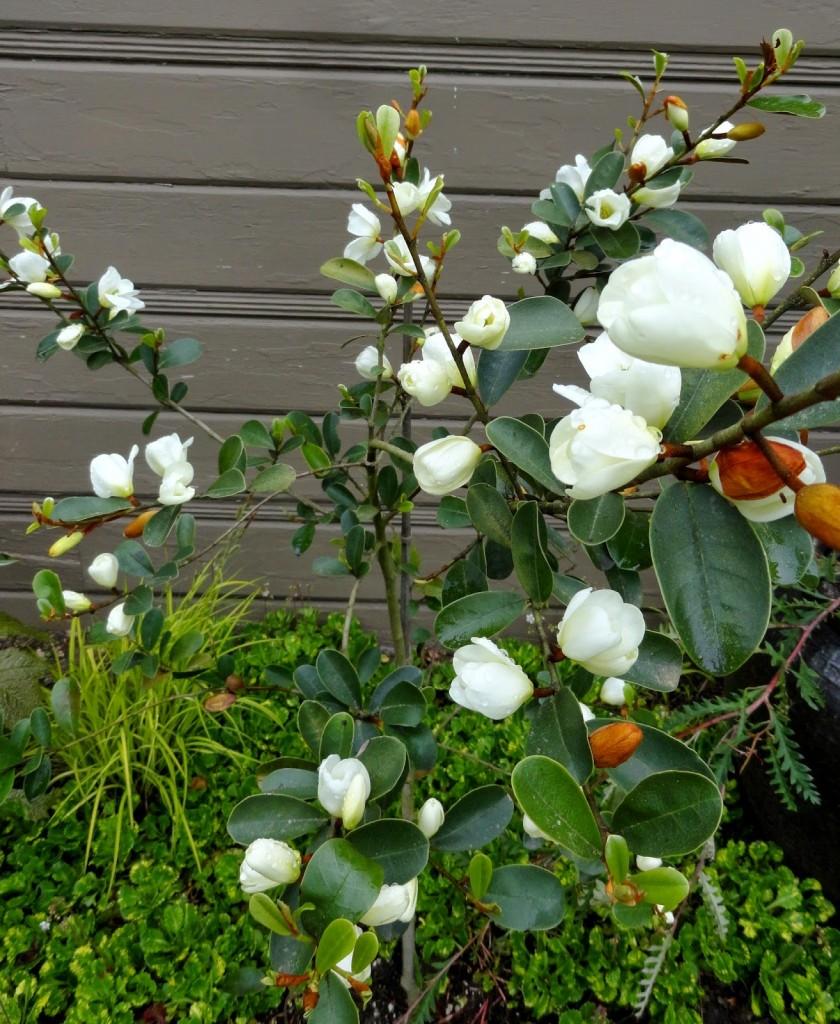 Magnolia laevifolia 1