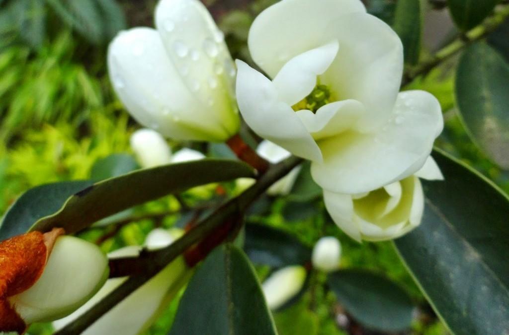 I've got a bad case of magnolia lust