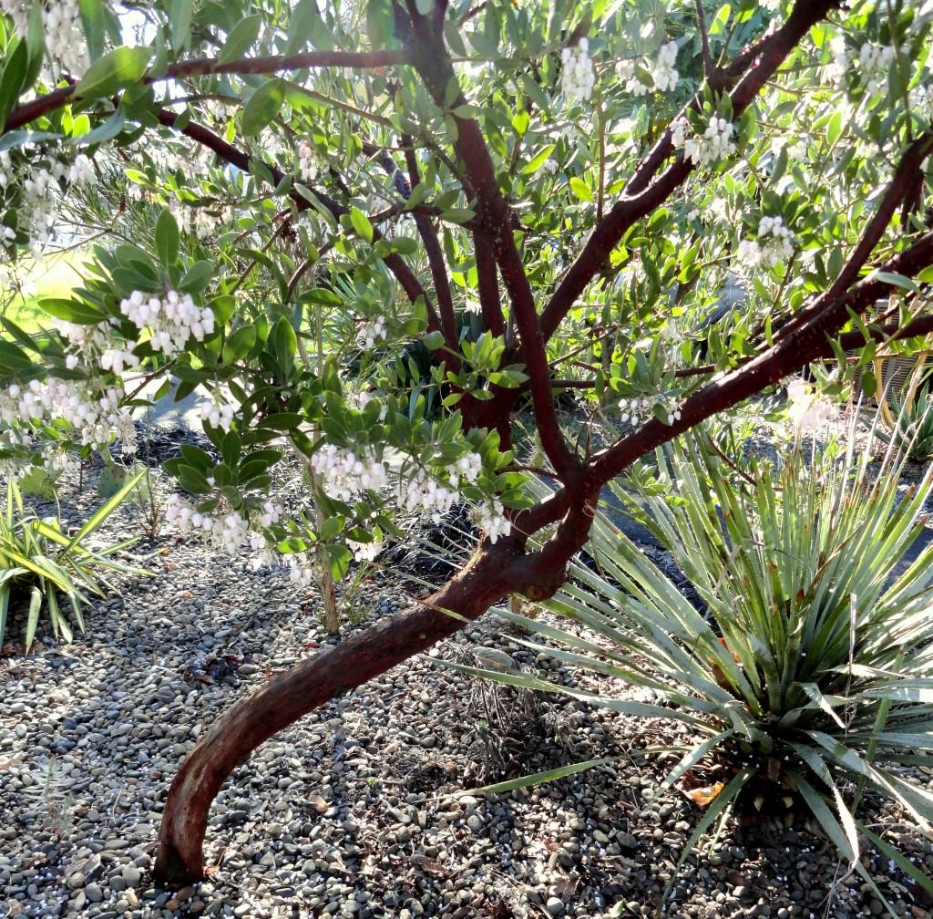Arctostaphylos x densiflora 'Sentinel'