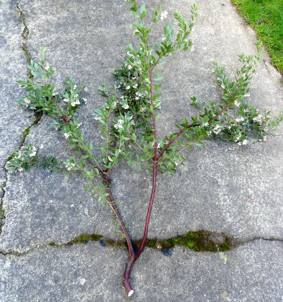Arctostaphylos x densiflora 'Sentinel' branch