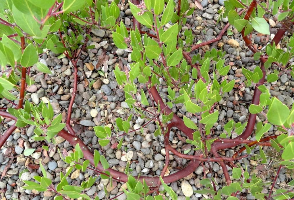 Arctostaphylos densiflora 'Harmony' 2