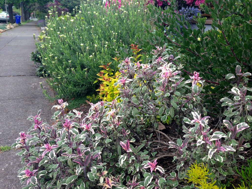 mixed planting tri color sage and lavender