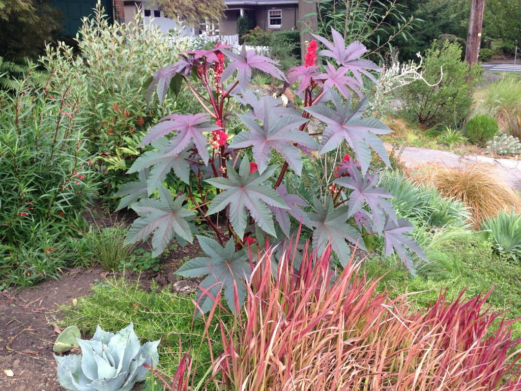 Ricinus communis aka Castor Bean. This will go in the front garden away from dogs. Poison!