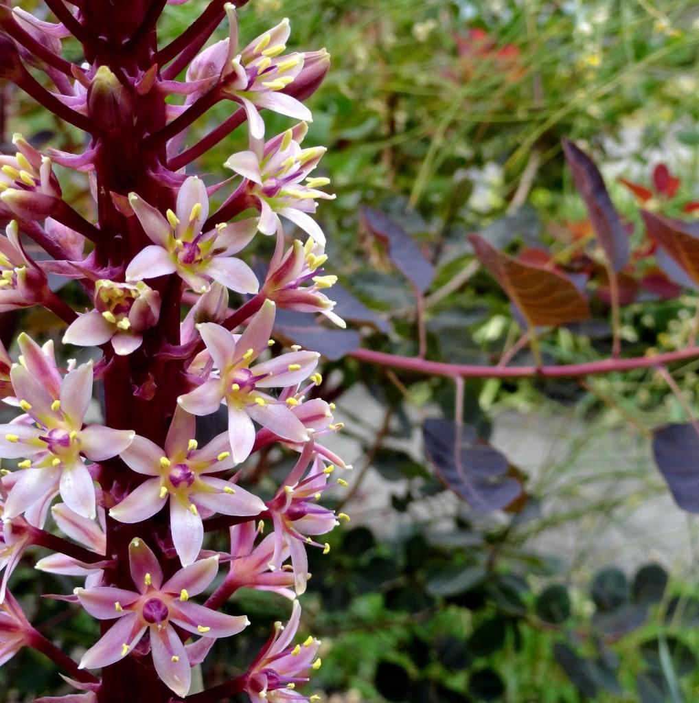Eucomis Oakhurst or Sparkling Burgundy