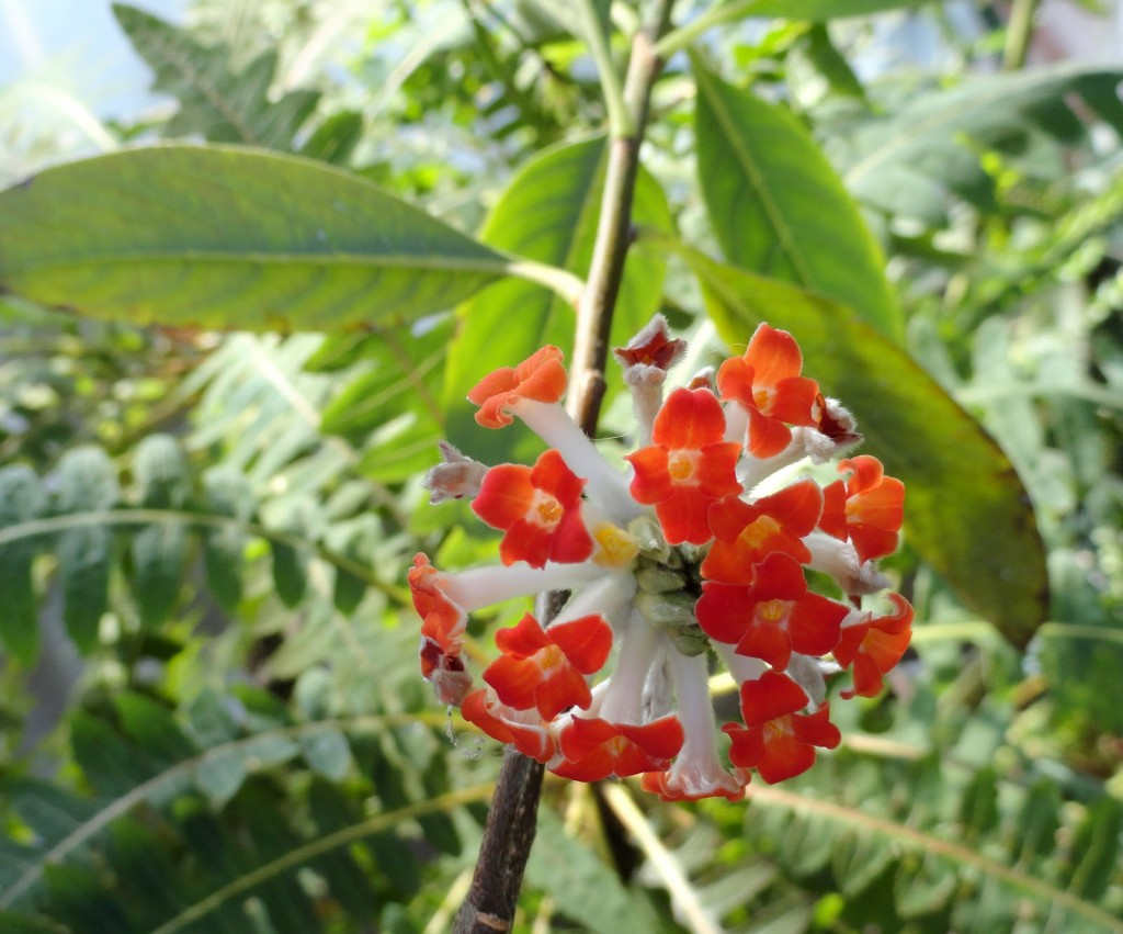It s garden bloggers bloom day plant lust for Edgeworthia chrysantha