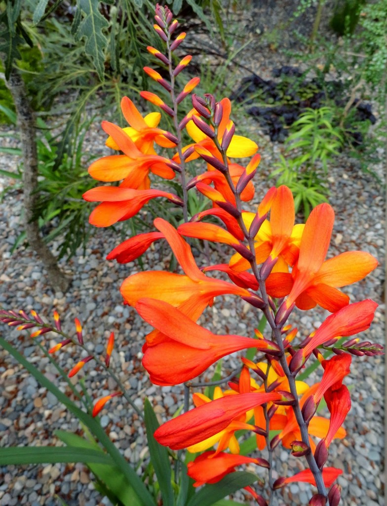 Crocosmia orangeade