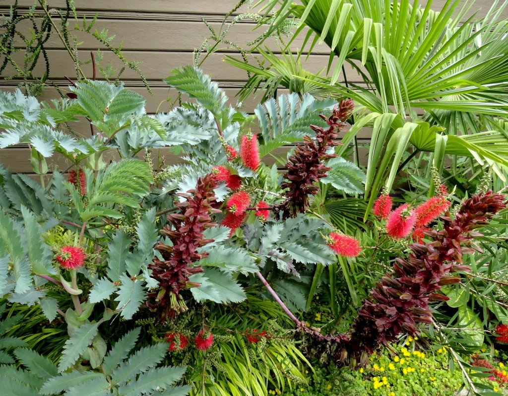 Callistemon 'Clemson' and Melianthus major 'Antonow's Blue'