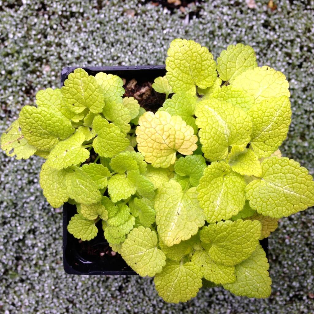 Lamium maculatum 'Aureum'