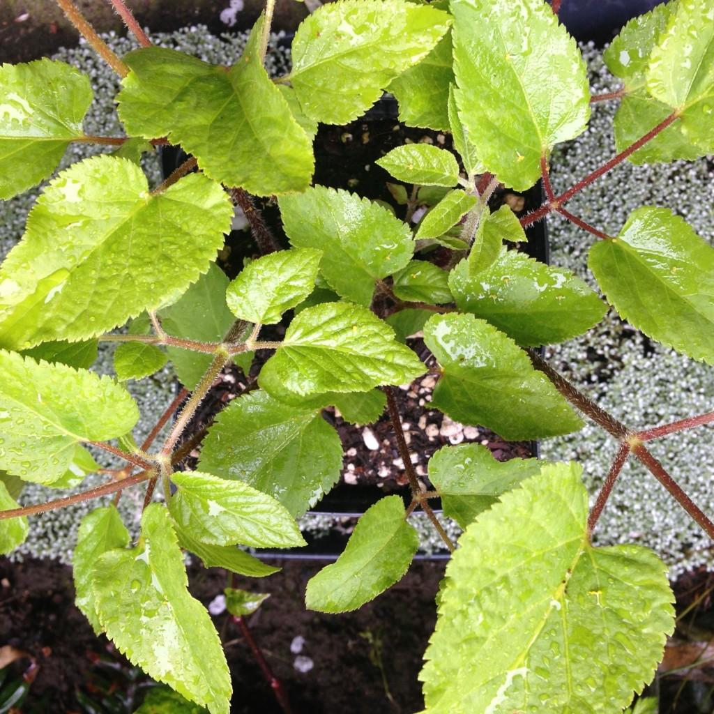 Aralia californica