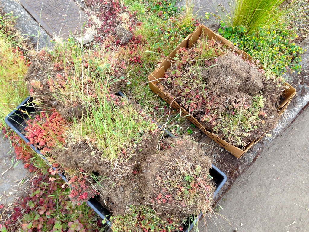 Pulling sedum out of the grass became the easier task.
