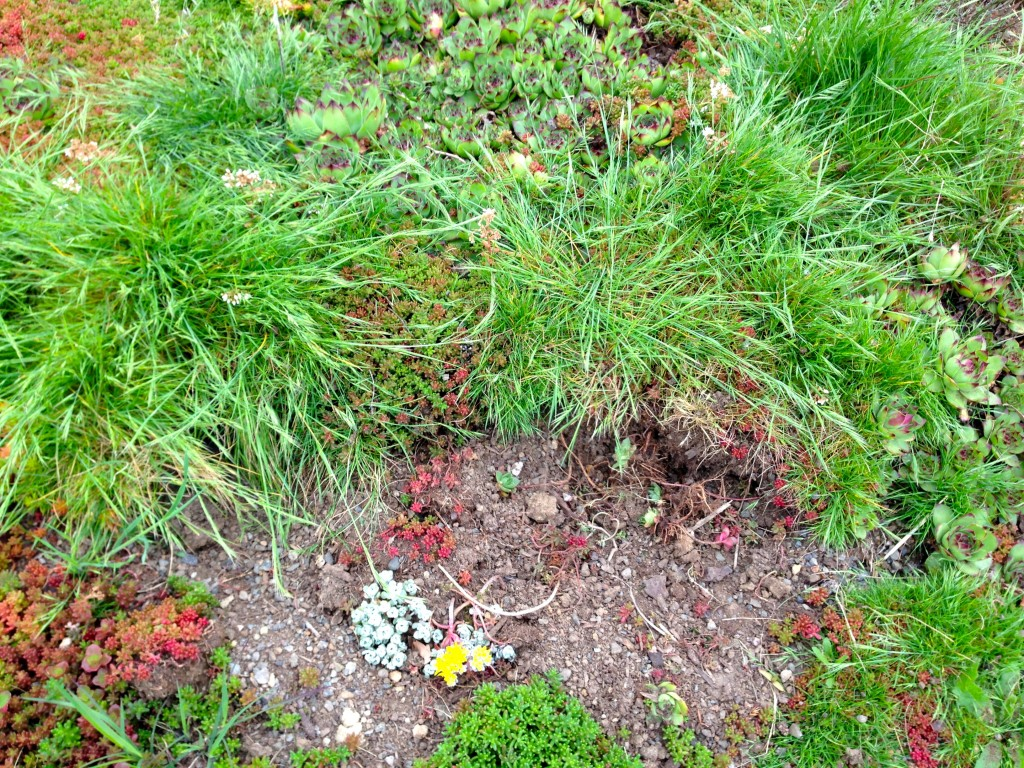 Sedum hellstrip with grass overtaking the plants. And not the good kind of grass that I paid for.