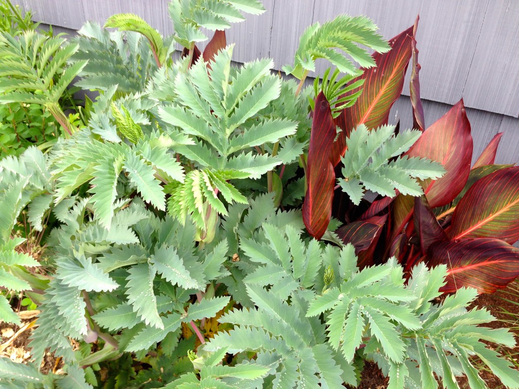 Melianthus and Canna, of course, now that I see it at Heather's.