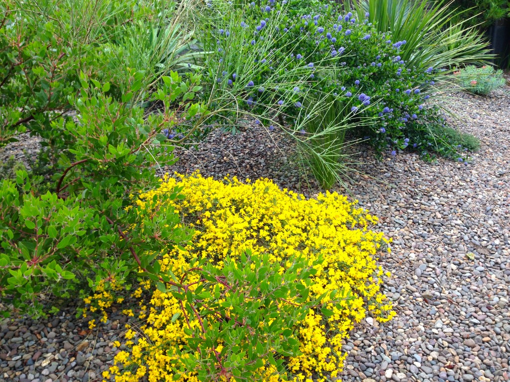 Look at this fabulous Genista groundcover. How could I not borrow that idea?