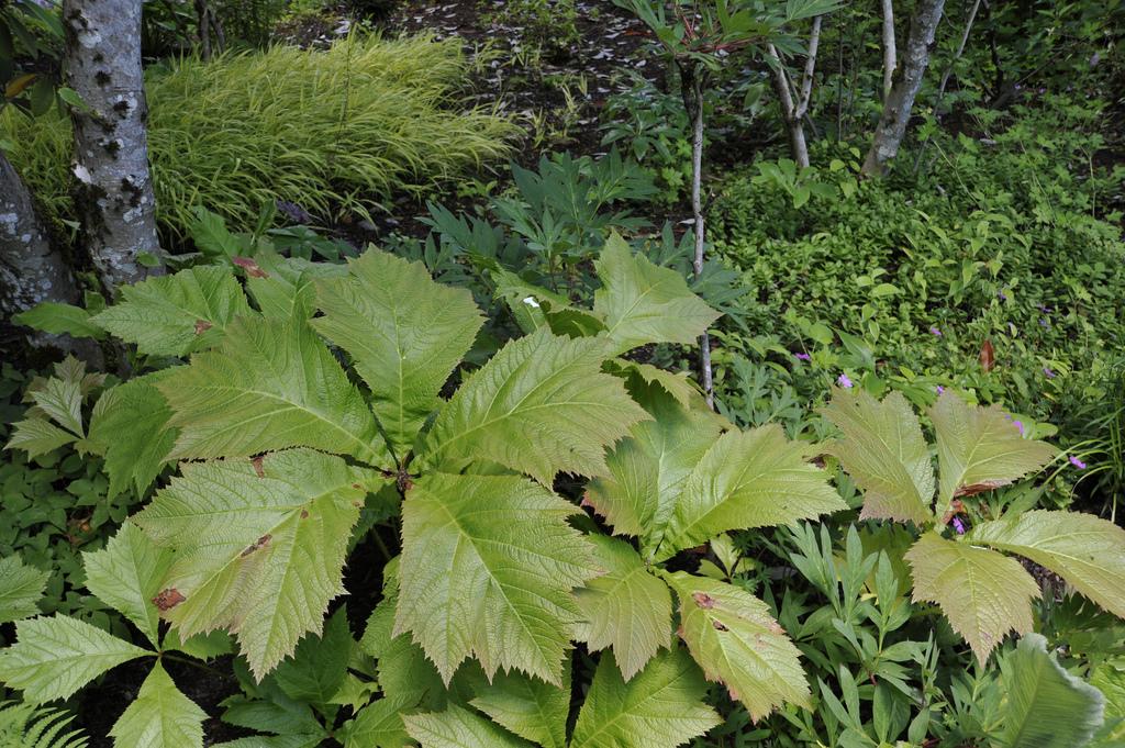 rodgersia podophylla by megan hansen