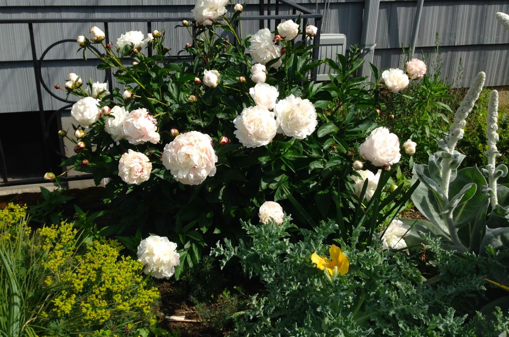 White Paeonia NOID. I swear I'm not showing the same plant over and over. They were when we moved in and bloom in succession. Pretty fabulous.
