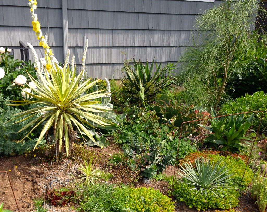 Had both the Genista and Yucca in hand to toss & then got second thoughts. Didn't think the Yucca in the middle would make the move because we had so little root, but it did.