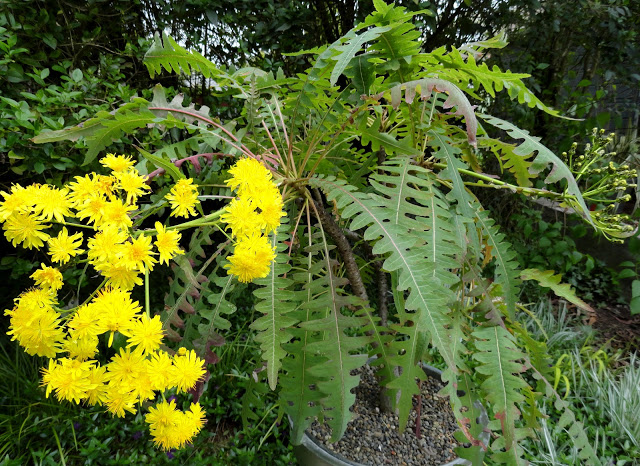 Sonchus canariensis by Loree Bohl