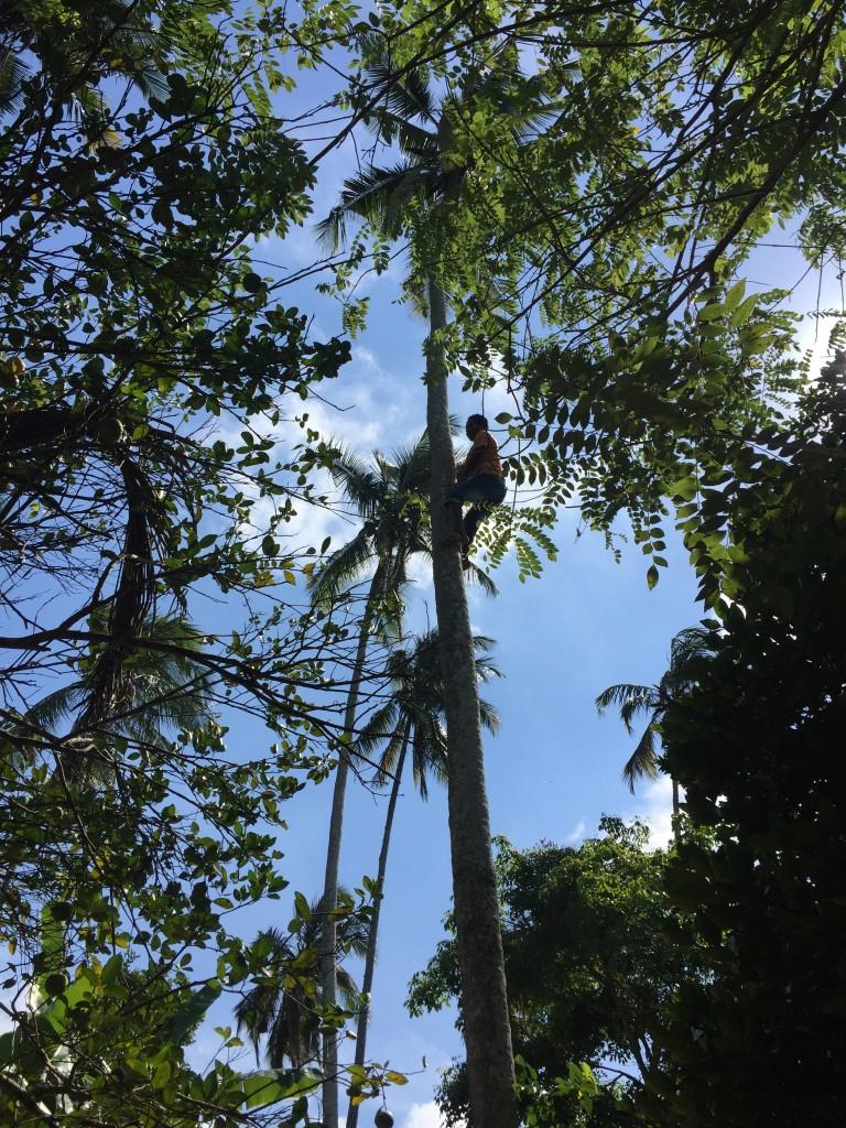 coconut harvest