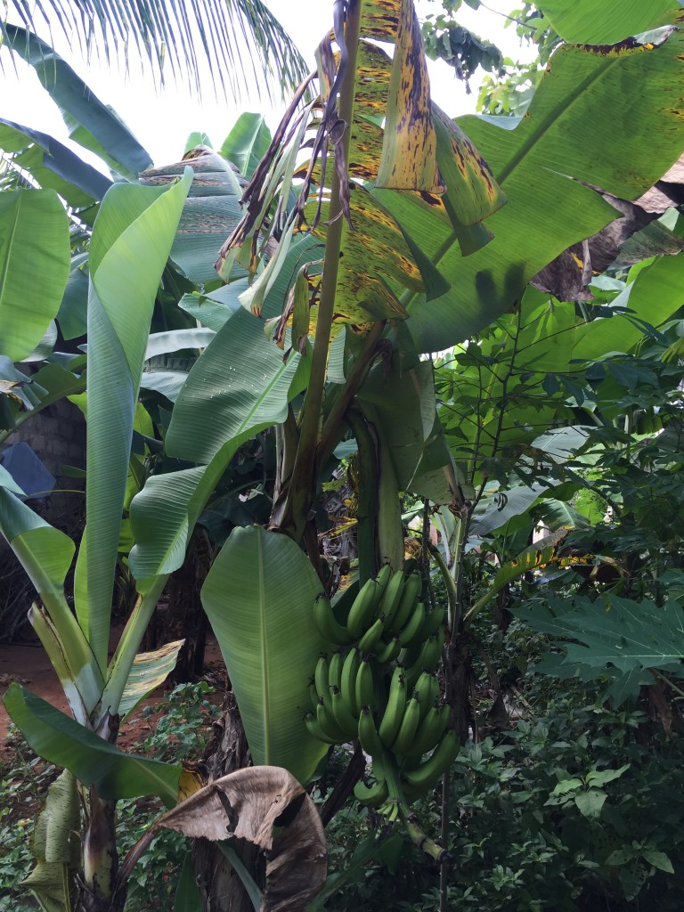 bananas growing from tree