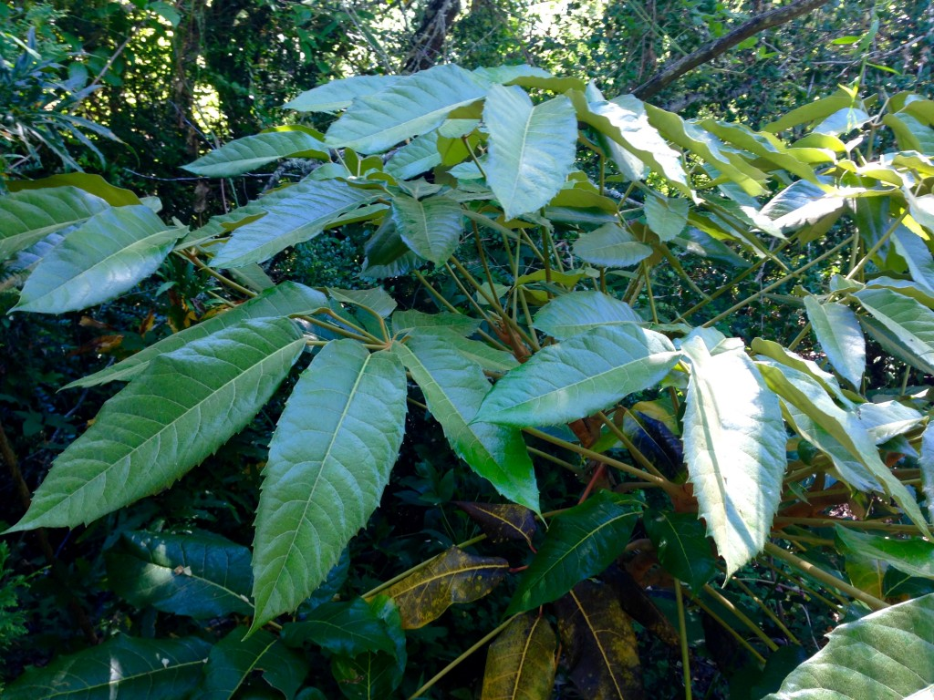 Wider view of the Schefflera delavayi. The leaves, ooh ooh ooh!