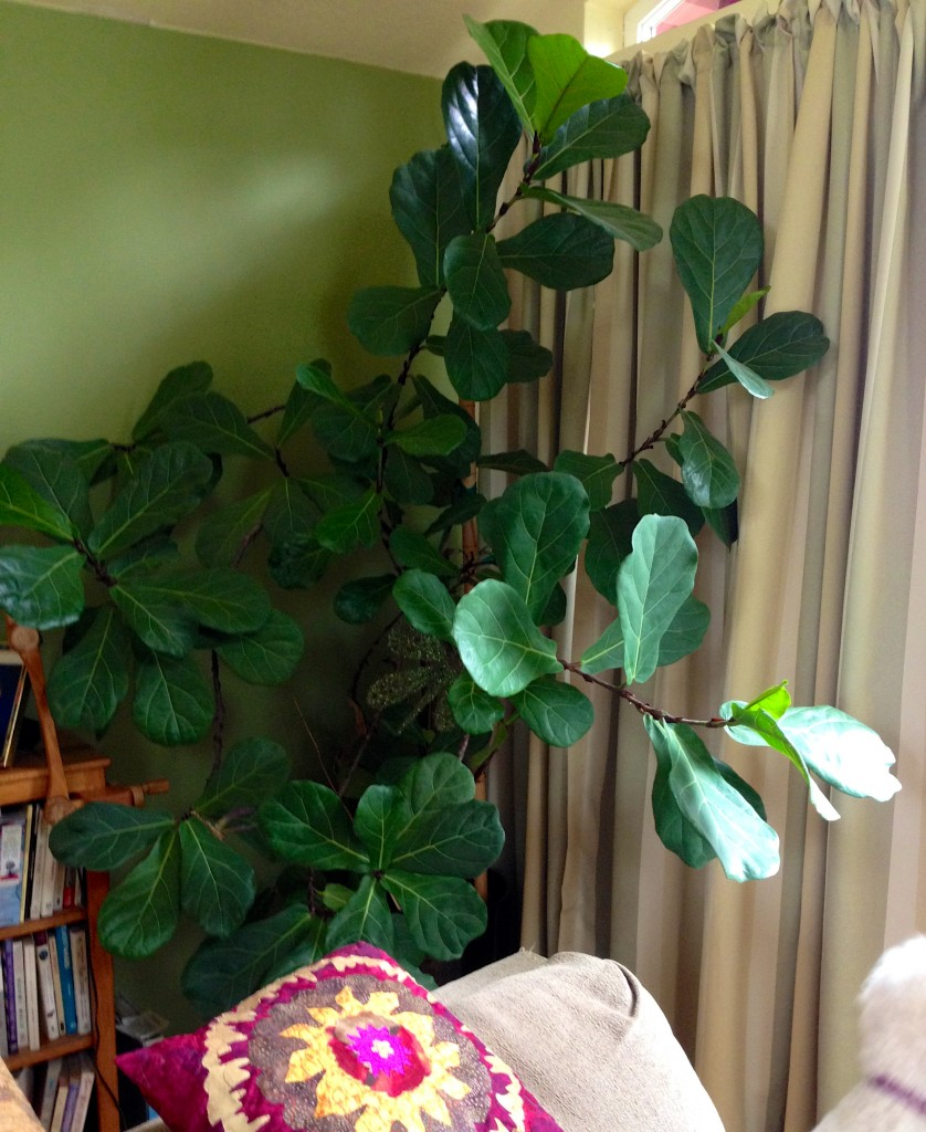 Healthy Ficus going on , hmm, a long time.