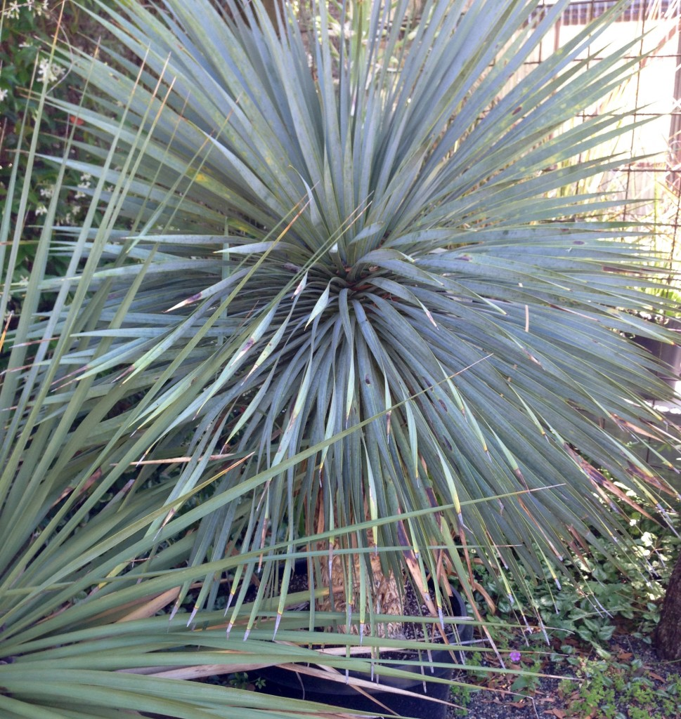Yucca rostrata - my first selection, but Loree said no.