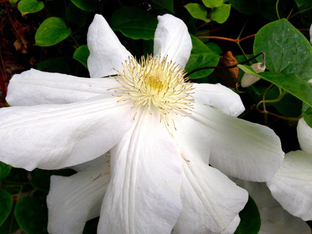 White Clematis bloom, dinner-plate sized.