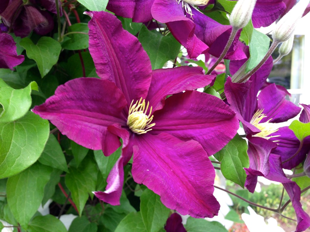 A happy companion Clematis.