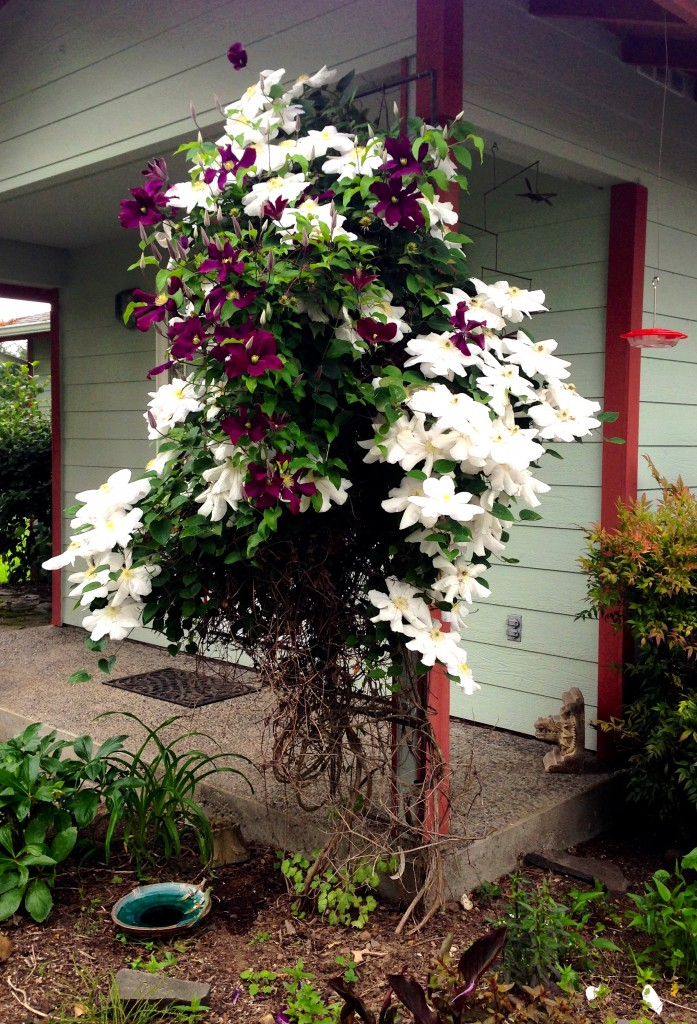 Happy combo of Clematis NOID.
